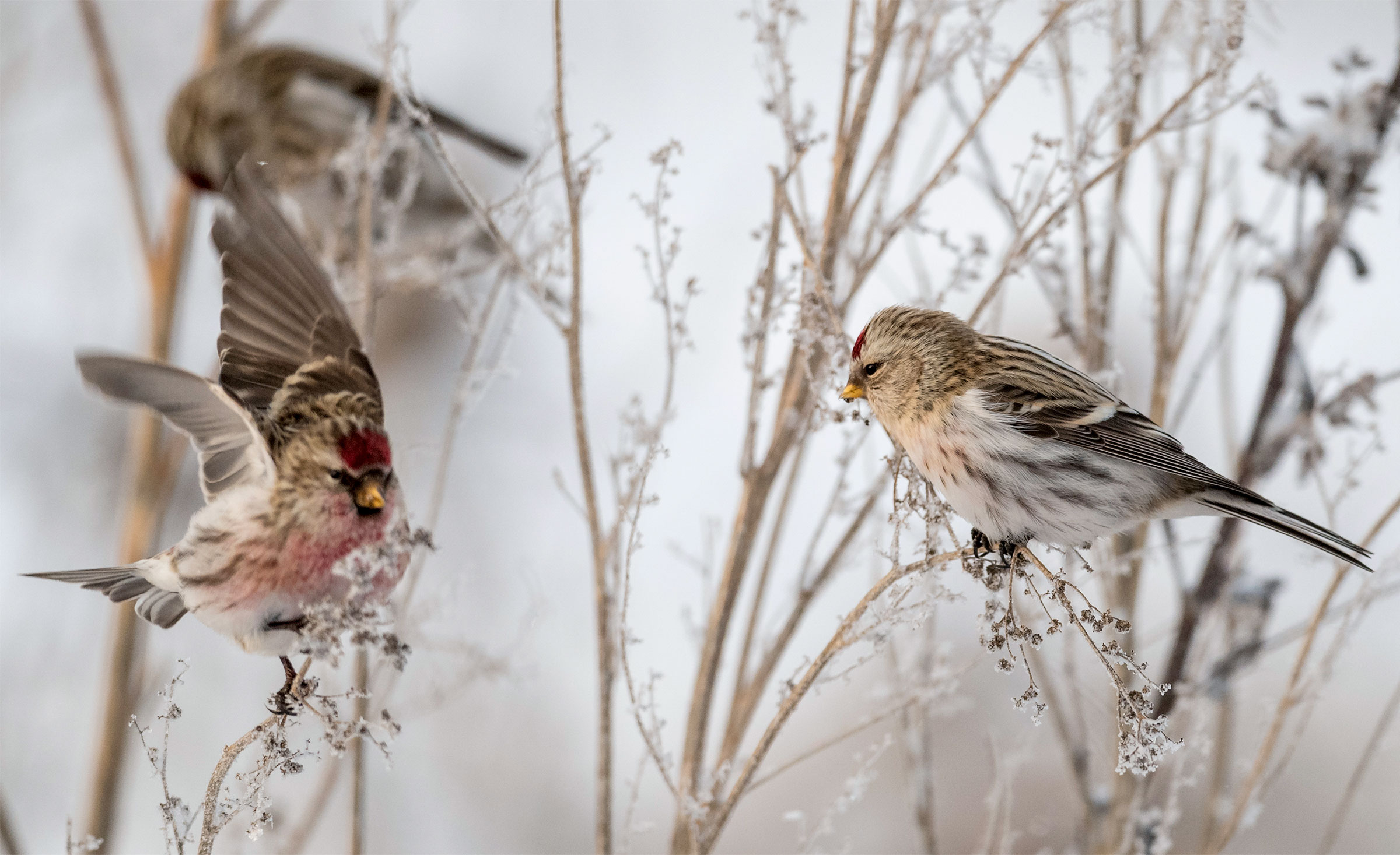 The science of bird classification isn't precise. For example, Common Redpolls (left) and Hoary Redpolls (right) are genetically almost identical—yet official committees have ruled that they remain separate species. Jussi Murtosaari/Minden Pictures