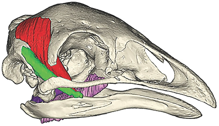 The Upland Moa skull with four major feeding muscles added in. Digital Graphic: Courtesy of Marie Attard and The Royal Society Publishing