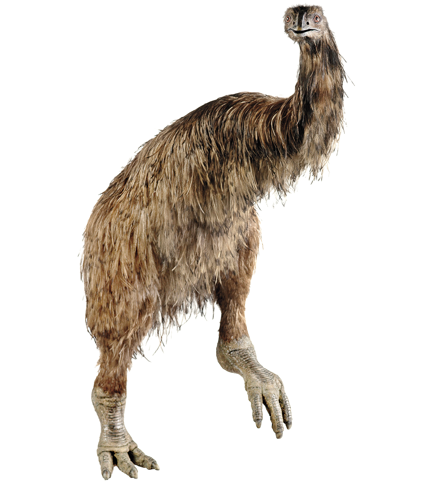 A life-sized model of an extinct Coastal Moa, built in 2006 by the firm Izzat Design Limited, is on display at the National Museum of New Zealand. TE PAPA/CC BY-NC-ND