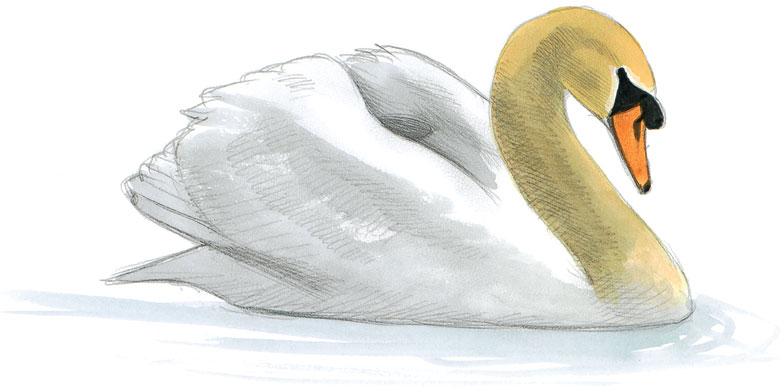 Mute Swan. Illustration: David Allen Sibley