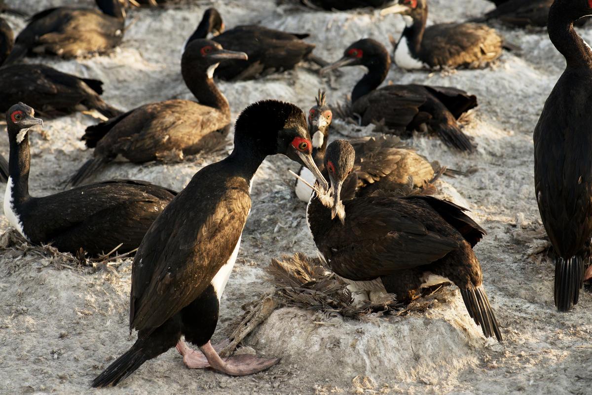 Nesting Guanay Cormorants in Punta San Juan, Peru. Mauricio Handler/National Geographic Image Collection