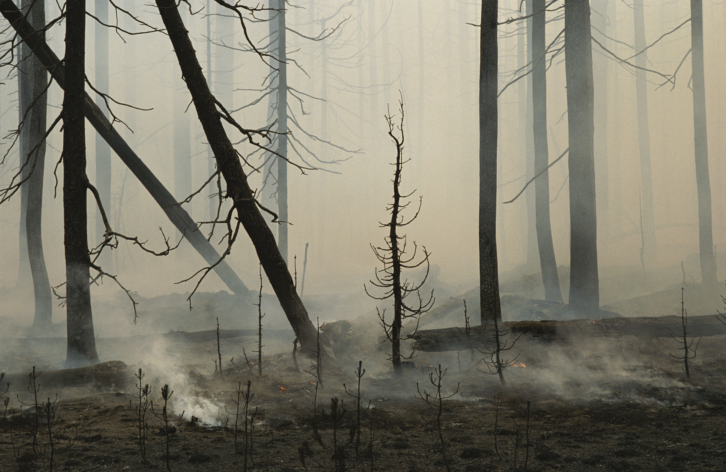 A lodgepole pine forest smolders following a fire in Yellowstone National Park. Raymond Gehman/National Geographic Creative