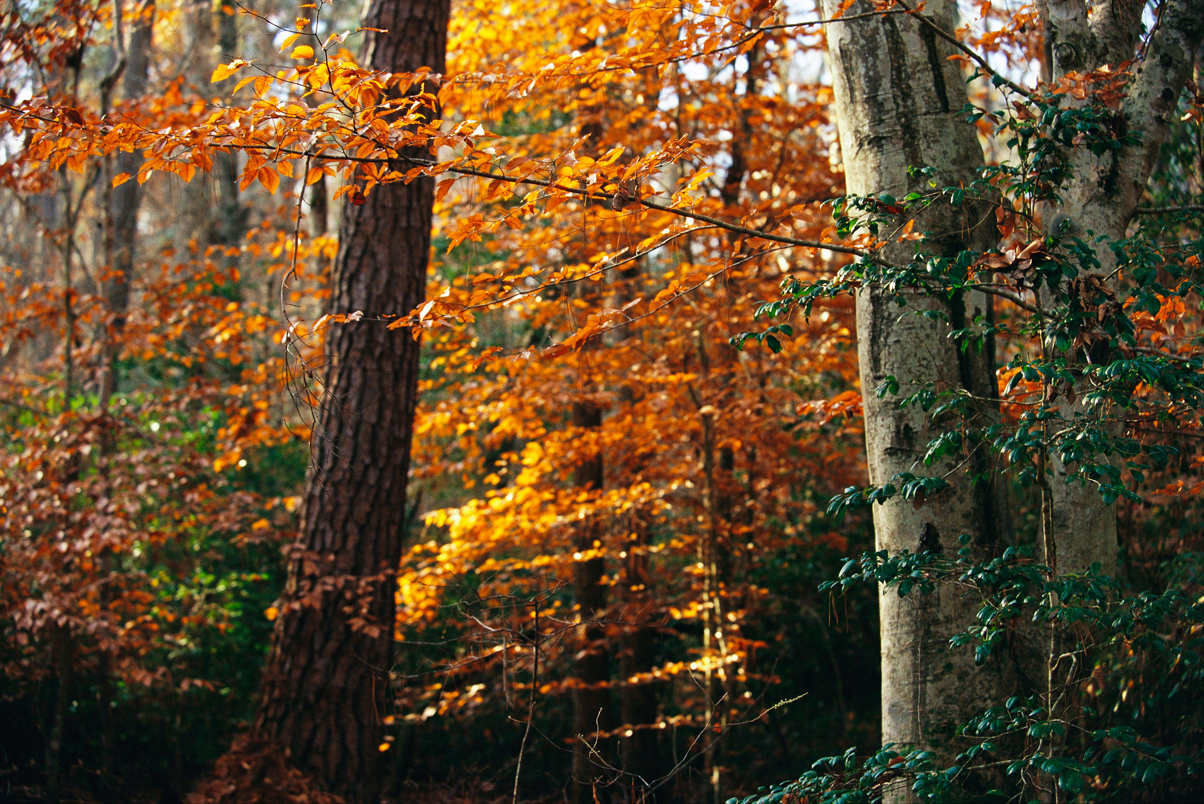American beech (front right) in full autumnal display. Raymond Gehman/National Geographic Creative