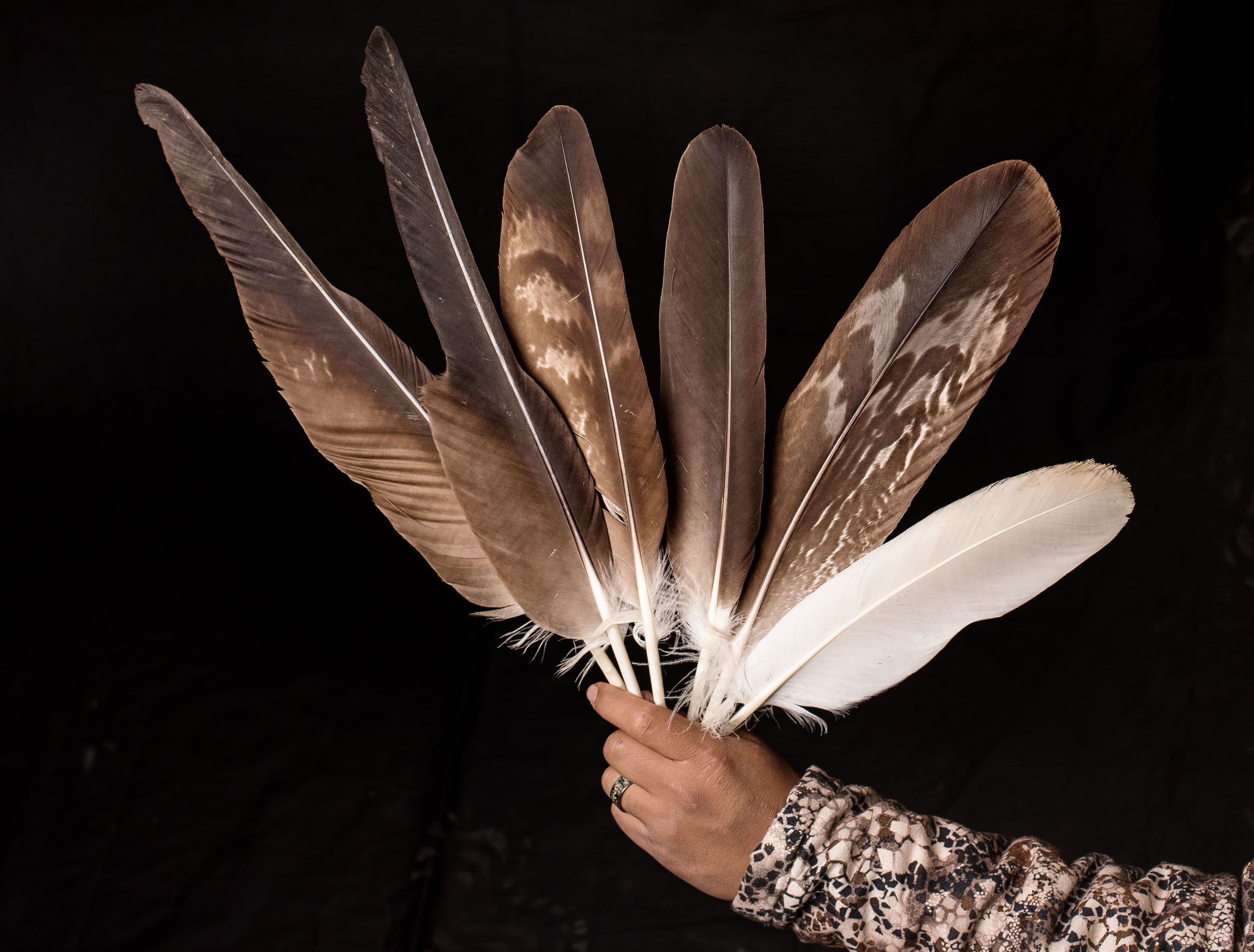 Golden and Bald Eagle feathers collected from captive birds at the Zuni Pueblo Tribal Eagle Aviary. Dawn Kish