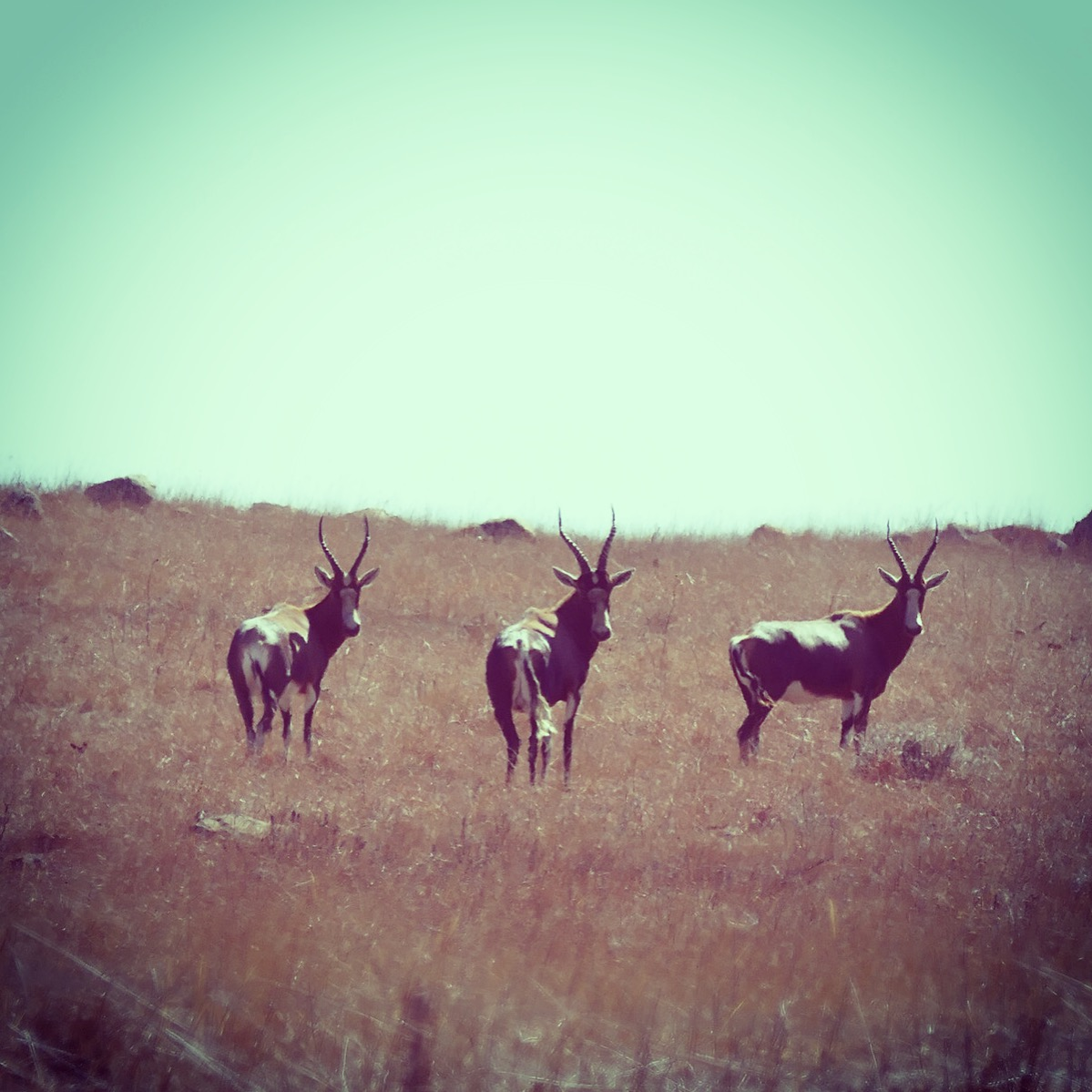 Noah's view of three blesbok. Noah Strycker
