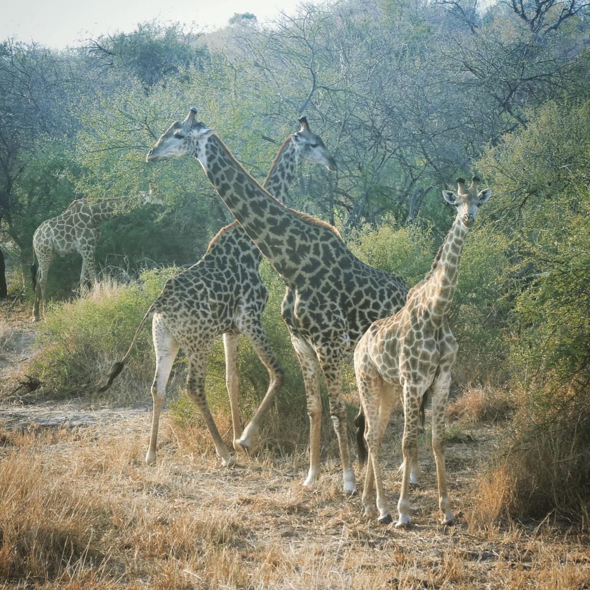 Several giraffes graze at Kruger National Park. Noah Strycker