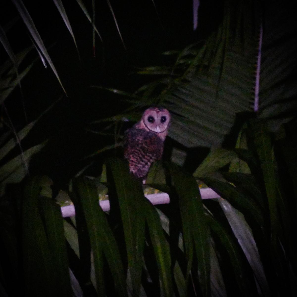 A Golden Masked-Owl perches near the Walindi Resort. Noah Strycker