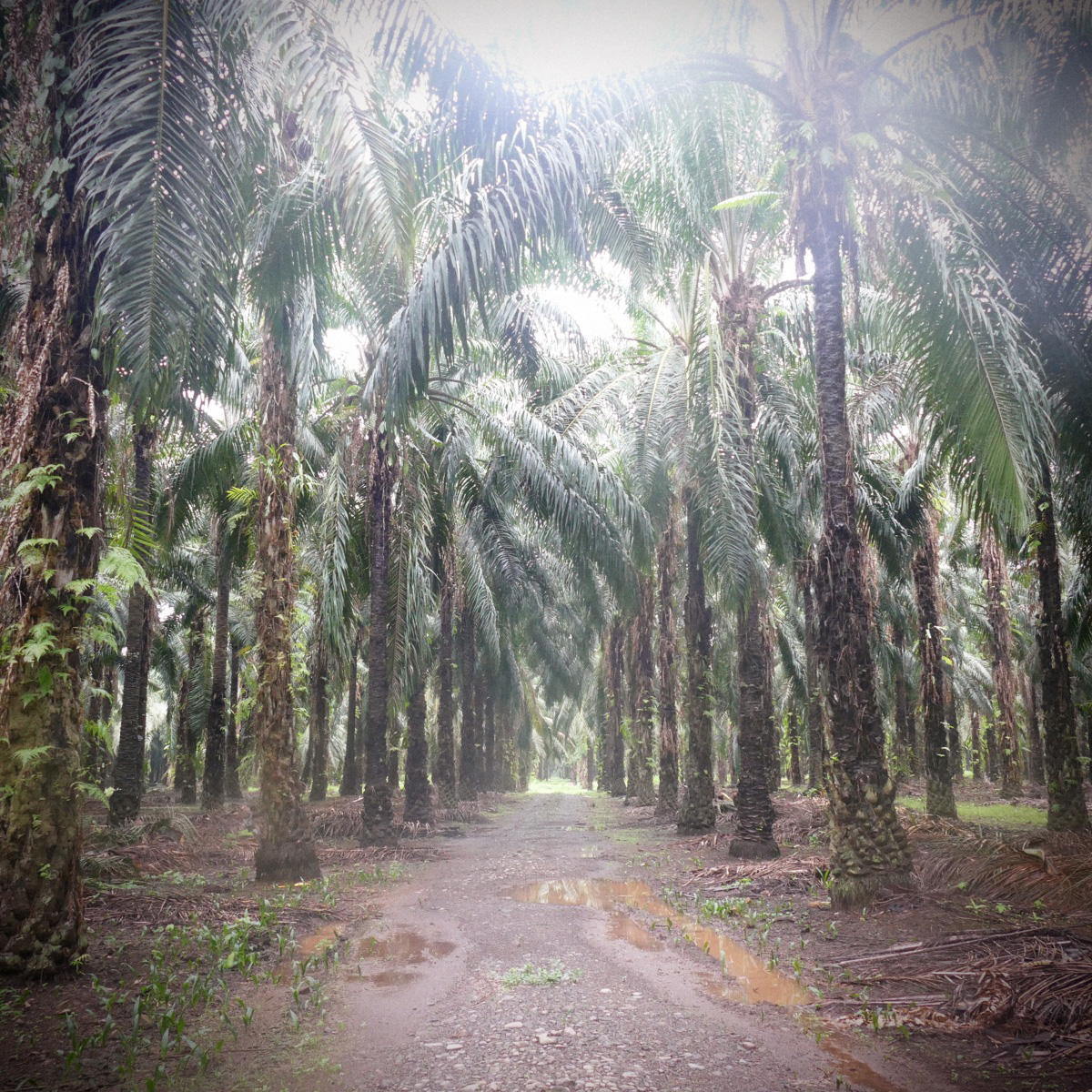 Inside an oil palm plantation on New Britain. Noah Strycker
