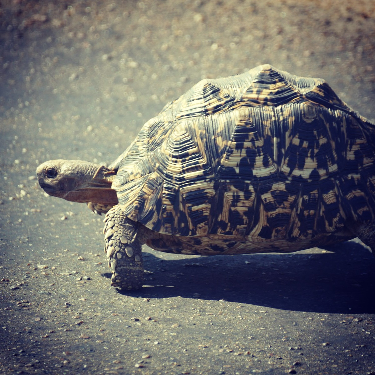 """Noah's view of a leopard tortoise, the """"little five"""" counterpart to the leopard. Noah Strycker"""