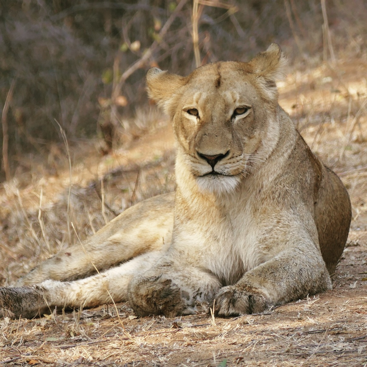 Noah's point-blank view of a lion at Kruger National Park. Noah Strycker