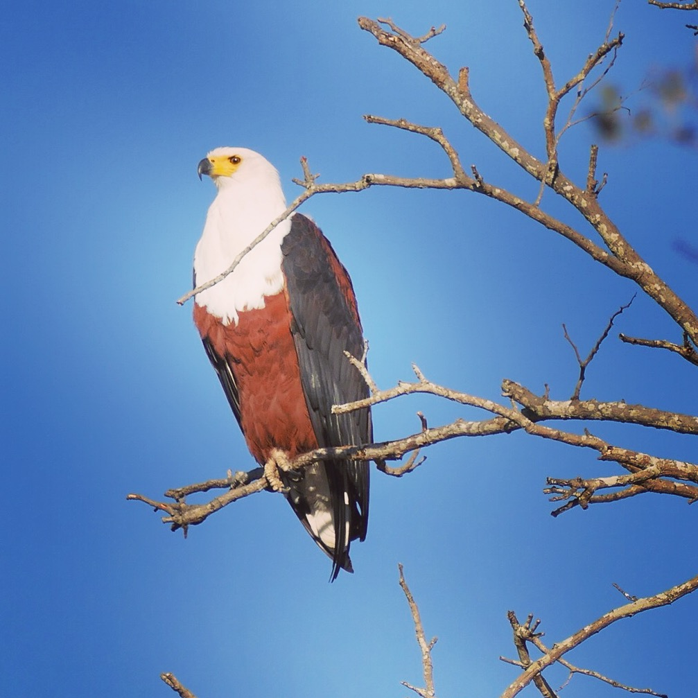 African Fish-Eagles are one of the most common raptors at Kruger National Park. Noah Strycker