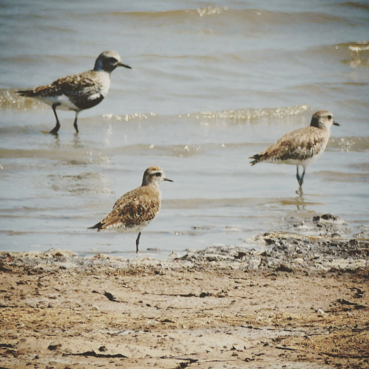 A rare American Golden-Plover (front center) stands between two Black-bellied Plovers. Noah Strycker
