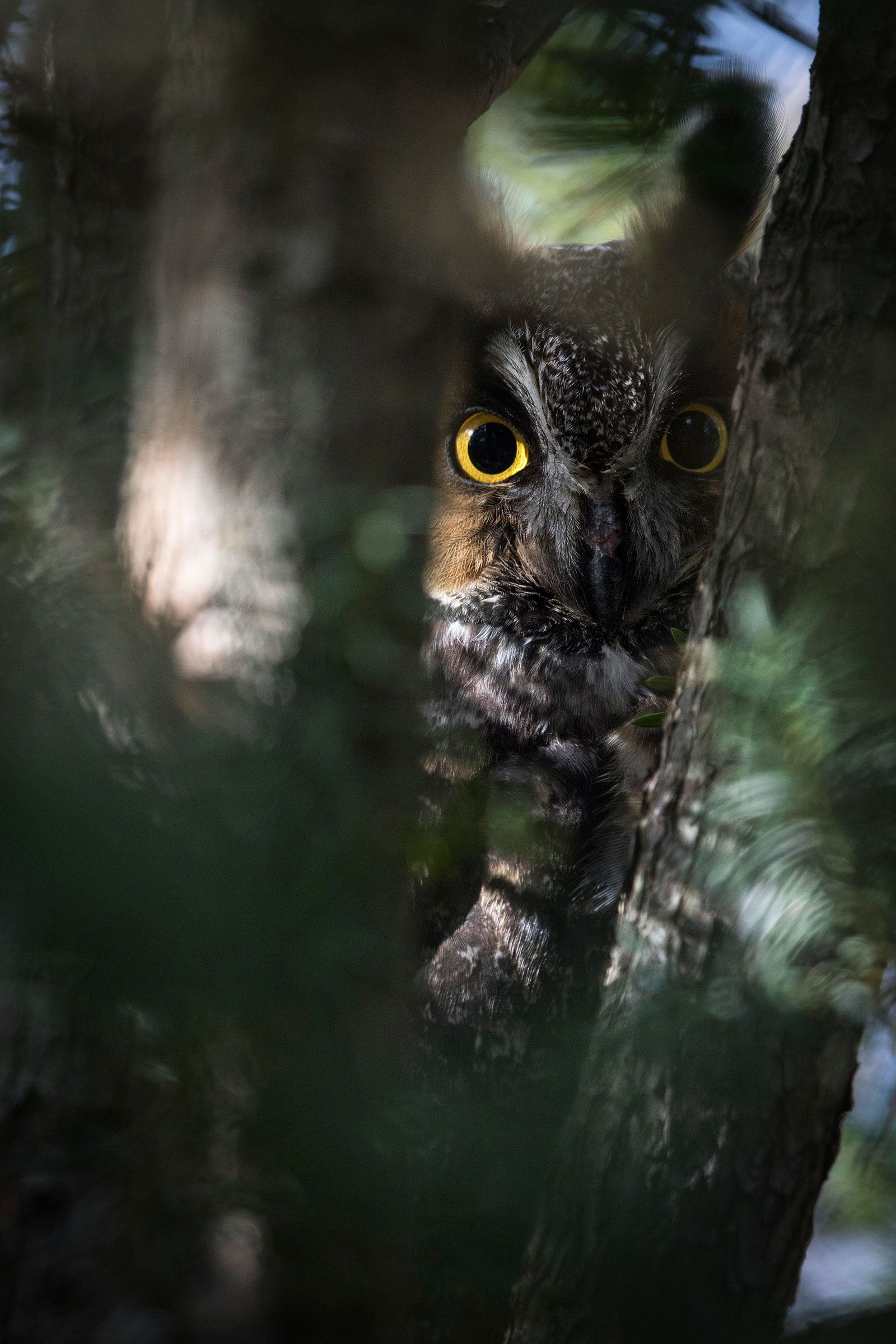 If you're lucky, you might see or hear a Long-eared Owl in Central Park. Francois Portmann