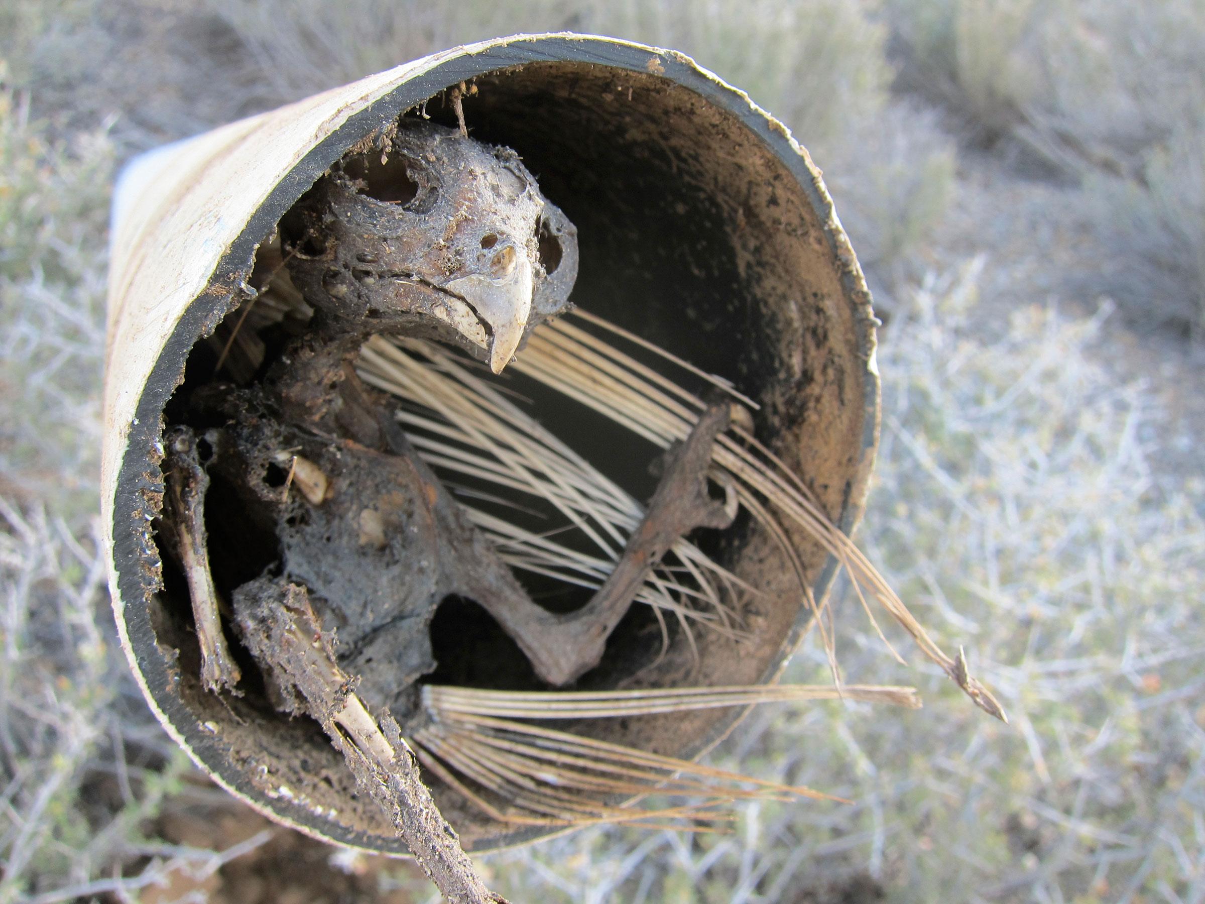 """Western Screech Owl found inside a mining claim marker in Nevada. <a href=""""http://www.birdandhike.com/"""">birdandhike</a>"""