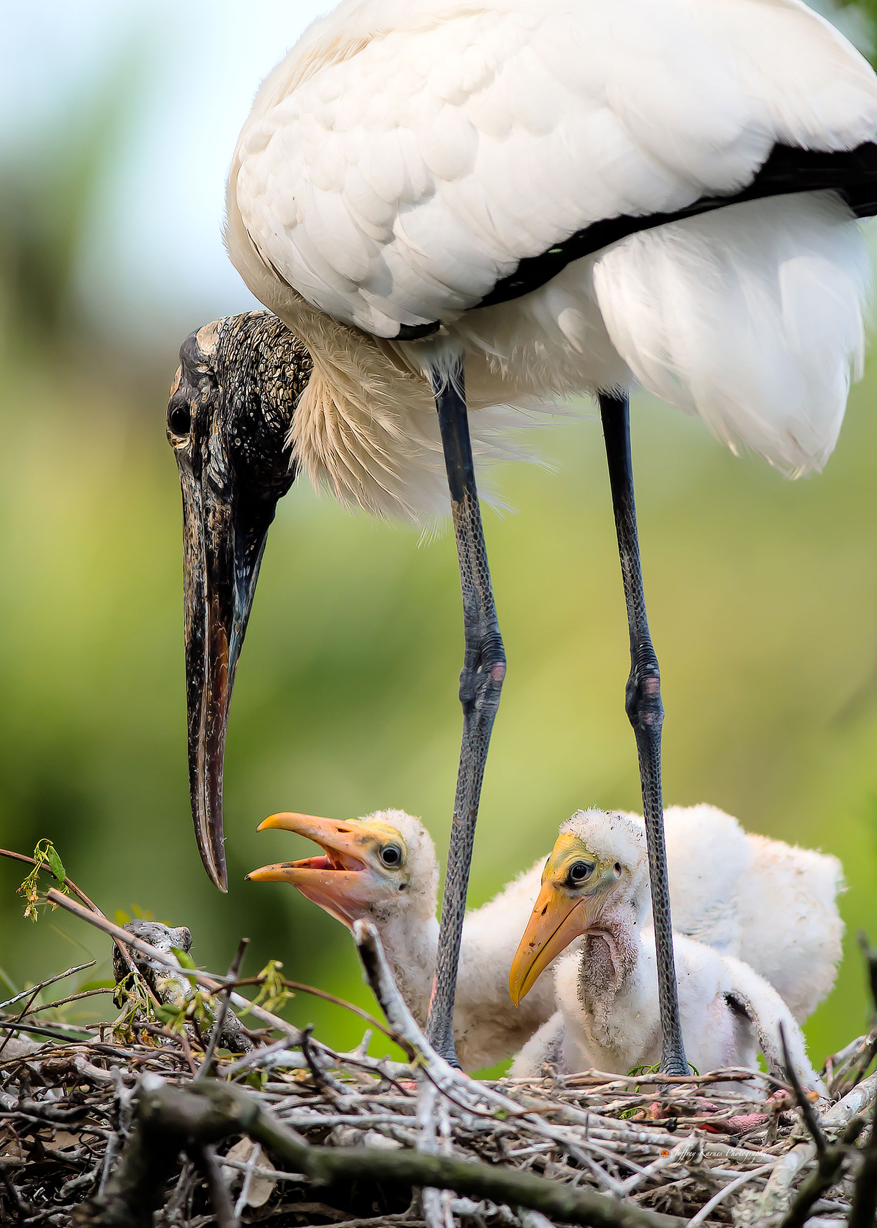 Wood Storks. Jeffrey Karnes/Audubon Photography Awards