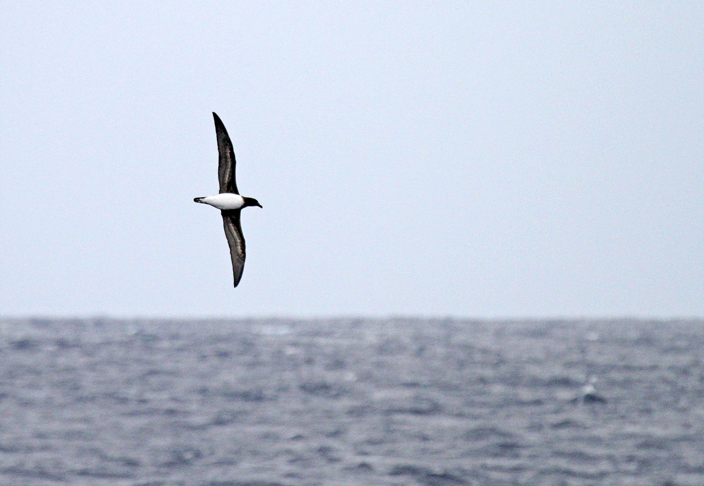 A Tahiti Petrel spotted off the coast of North Carolina may have arrived at its surprising location via hurricane. Agami Photo Agency/Alamy