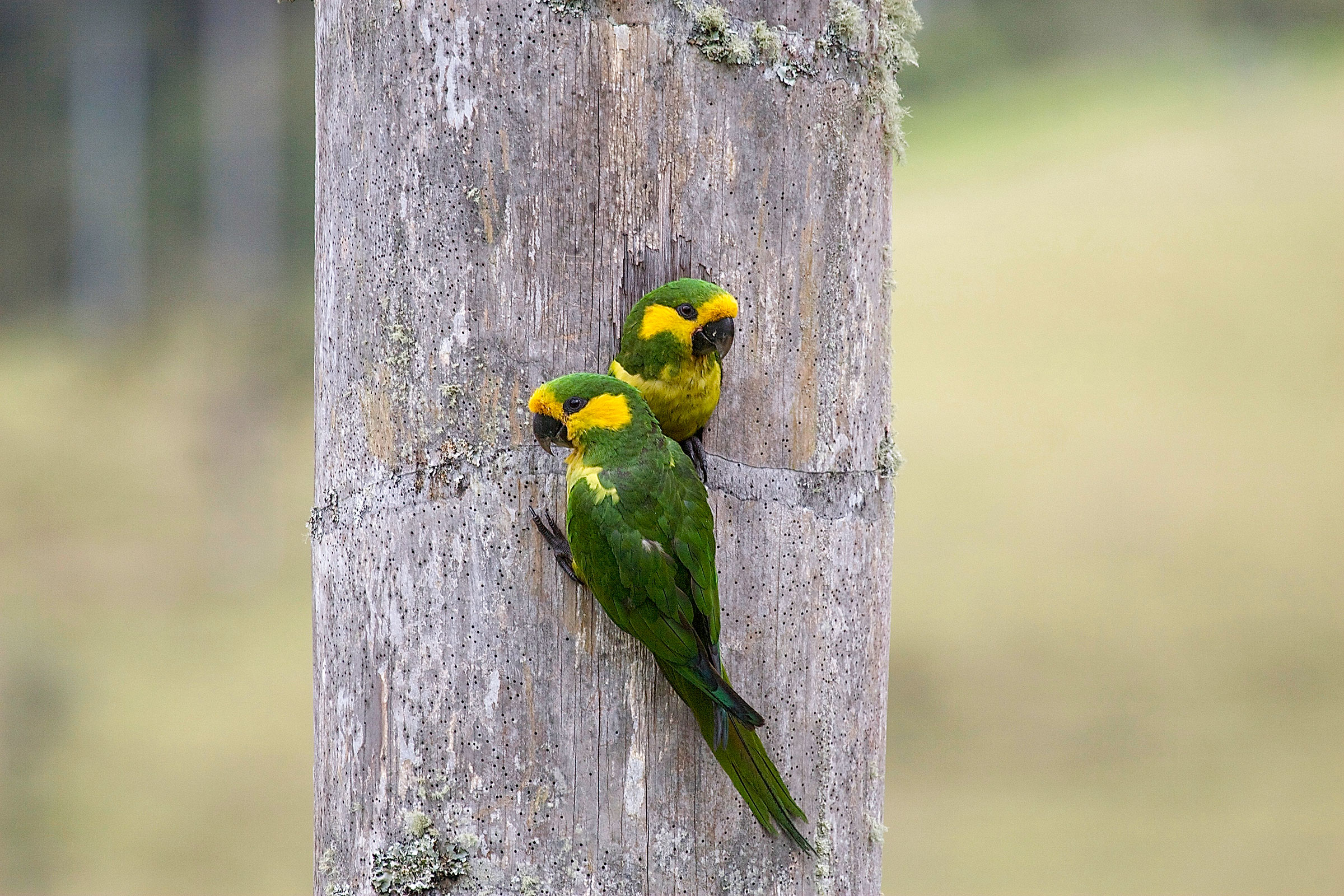 Yellow-eared Parrots in the cavity of a Quindío wax palm. Benjamin Freeman