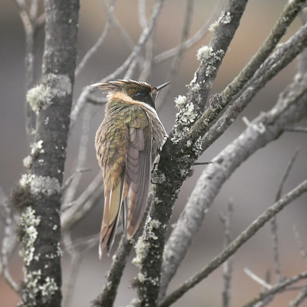 The Buffy Helmetcrest, endemic to central Colombia, was Noah's #1 target at Los Nevados. Noah Strycker