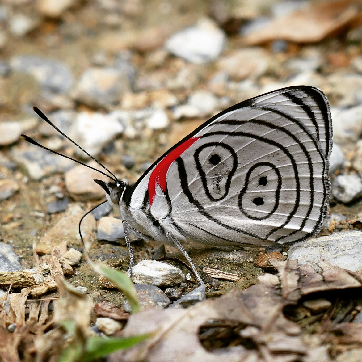 """An """"eighty-eight"""" butterfly pauses near a puddle on the Montezuma Road. Noah Strycker"""