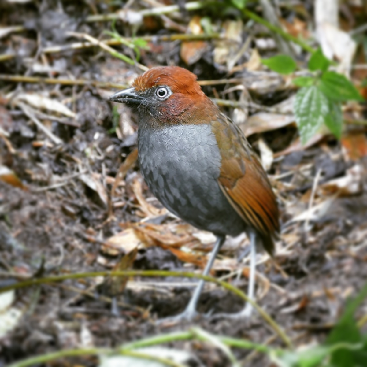 A Chestnut-naped Antpitta hops out of the bushes for its daily worms. Noah Strycker