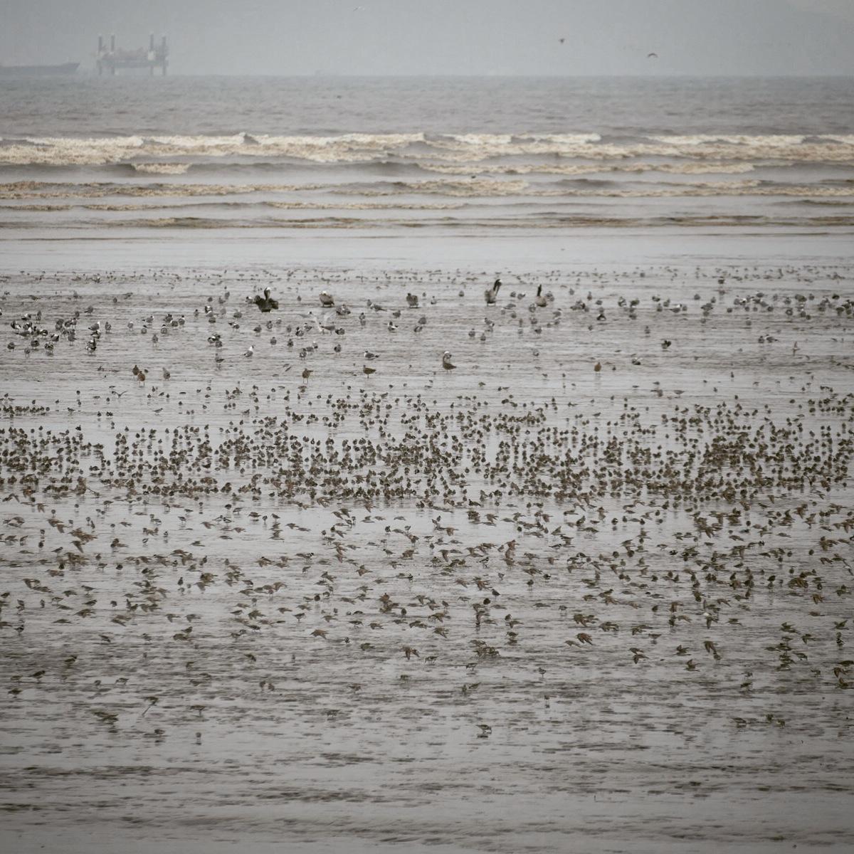 Thousands of shorebirds sift the mud near high tide on Panama Bay. Noah Strycker