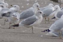 Mew Gull. Jim Paton/Christmas Bird Count
