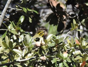 Townsend's Warbler. Kevin Floyd/Christmas Bird Count