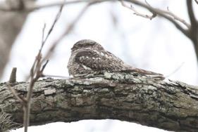 Common Nighthawk Bob Friedrichs/Christmas Bird Count