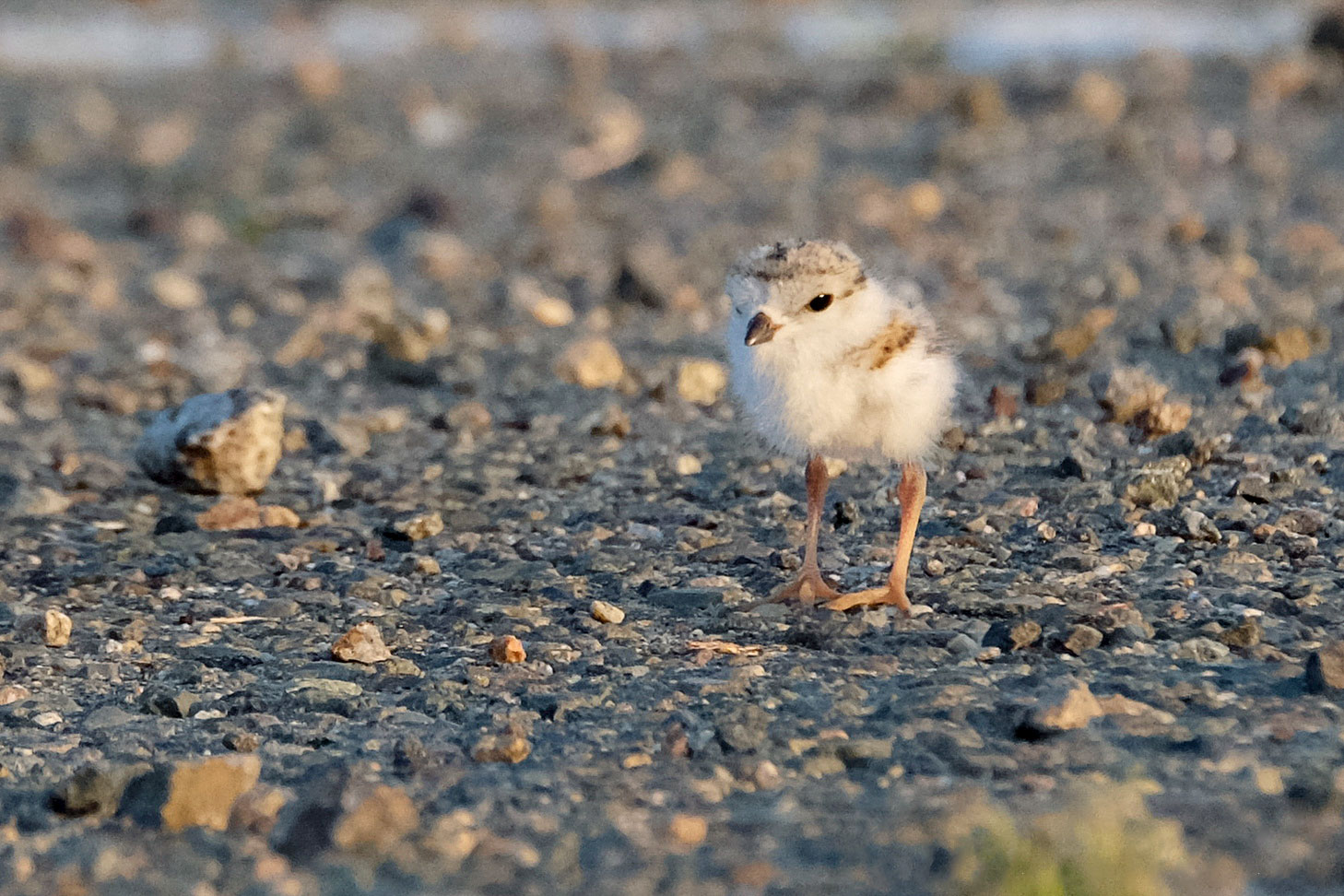 A one-day-old chick in the parking lot. Kim Smith