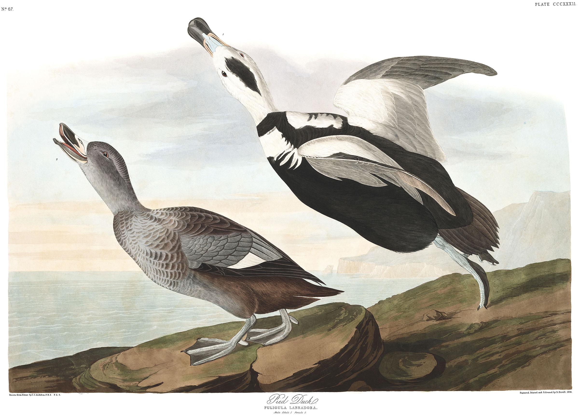 Labrador Duck. Illustration: Courtesy of the John James Audubon Center at Mill Grove, Montgomery County Audubon Collection, and Zebra Publishing