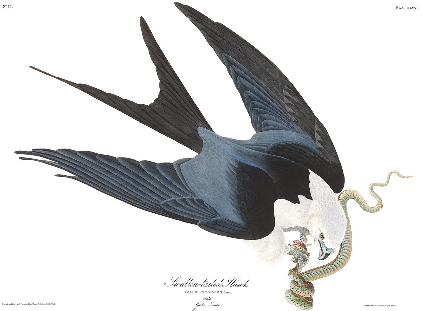 Swallow-tailed Kite, by John James Audubon