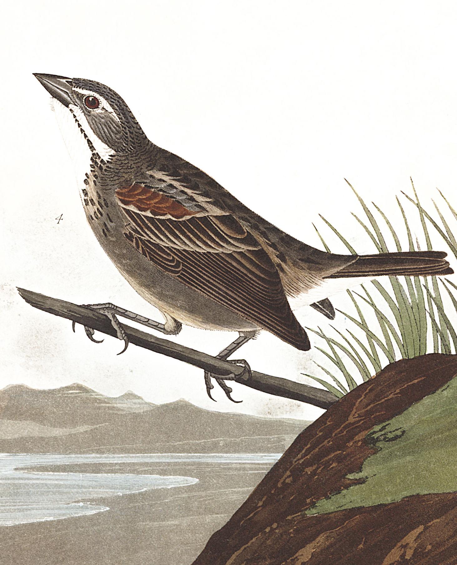 Townsend's Bunting. Illustration: John James Audubon