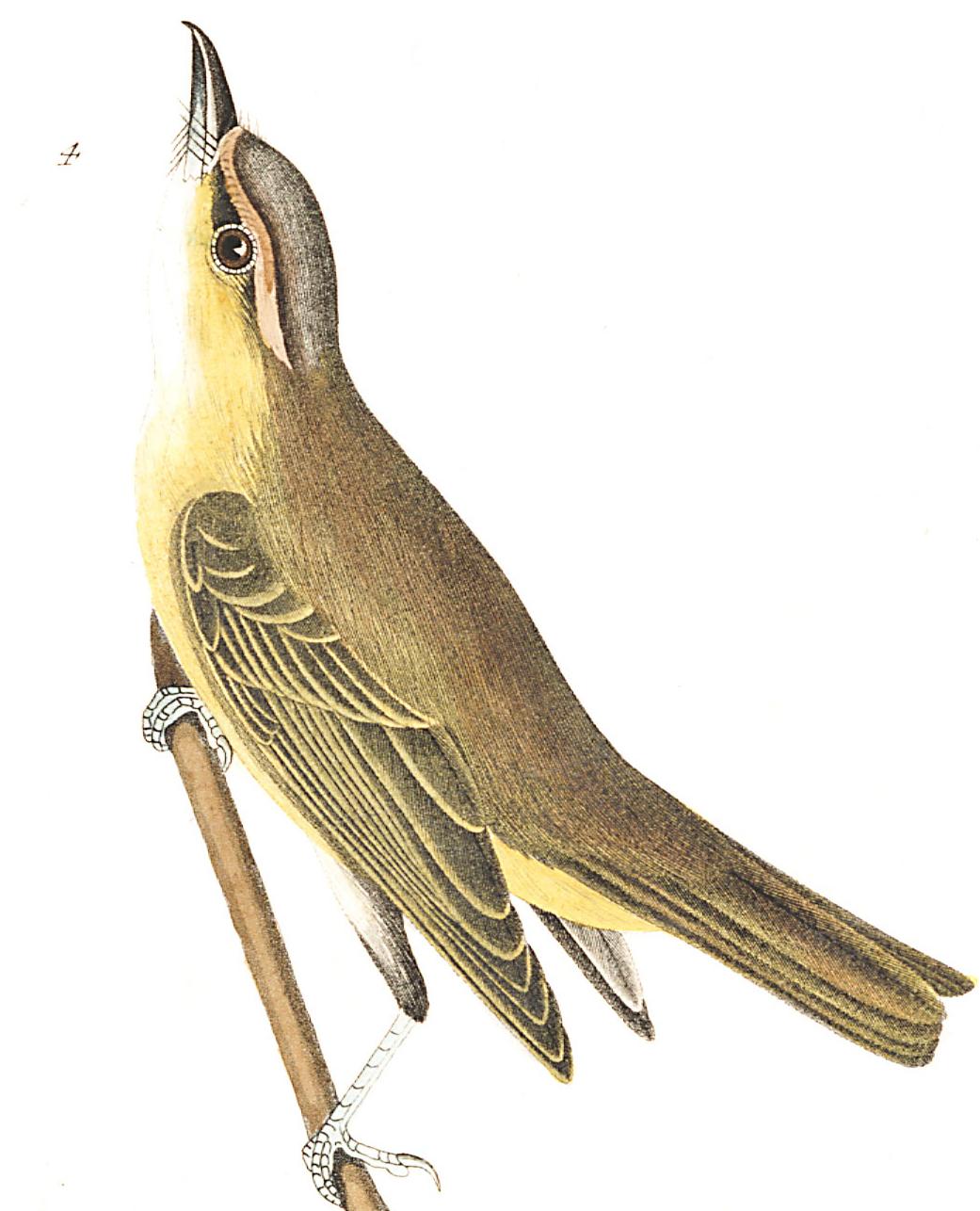 Bartram's Vireo. Illustration: John James Audubon