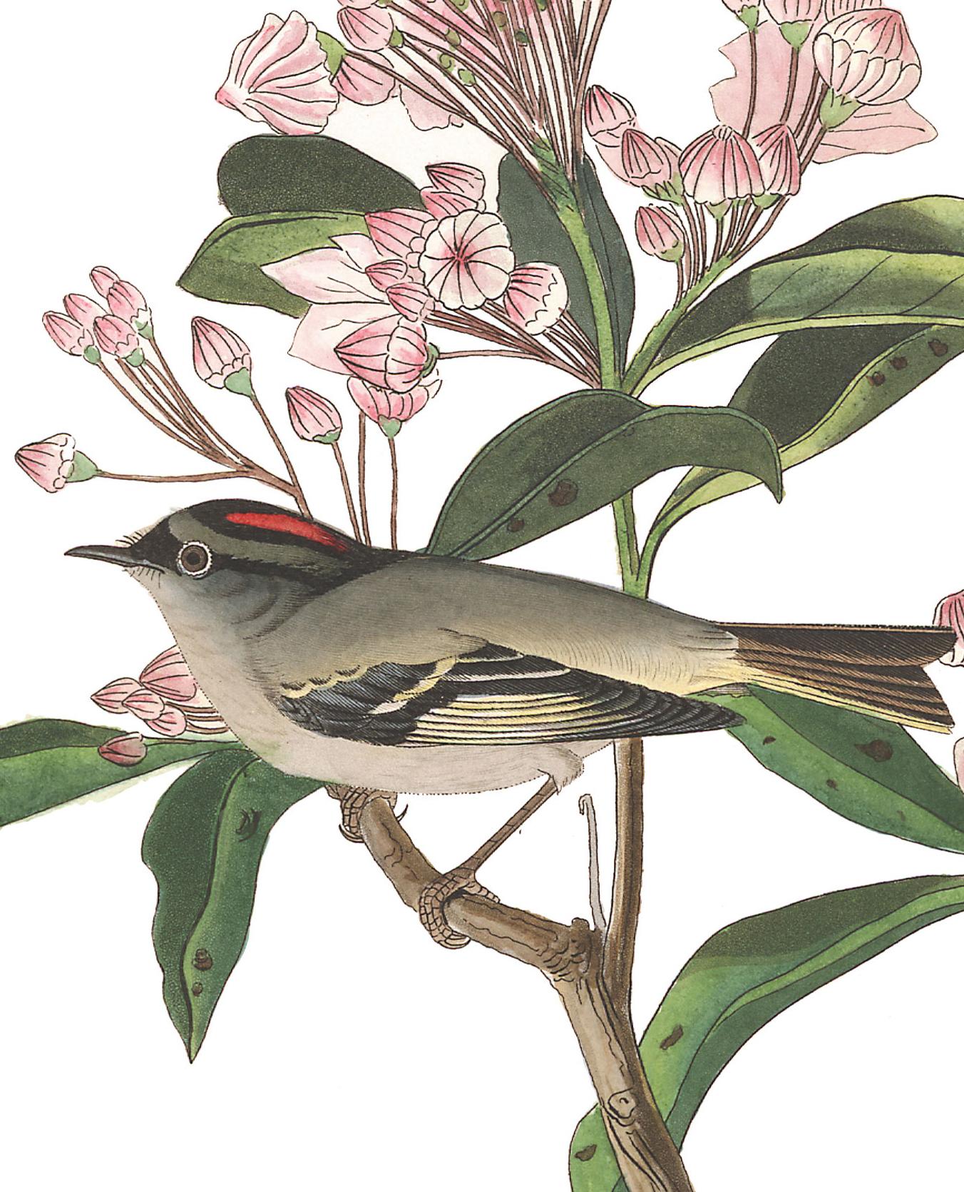 Cuvier's Kinglet. Illustration: John James Audubon