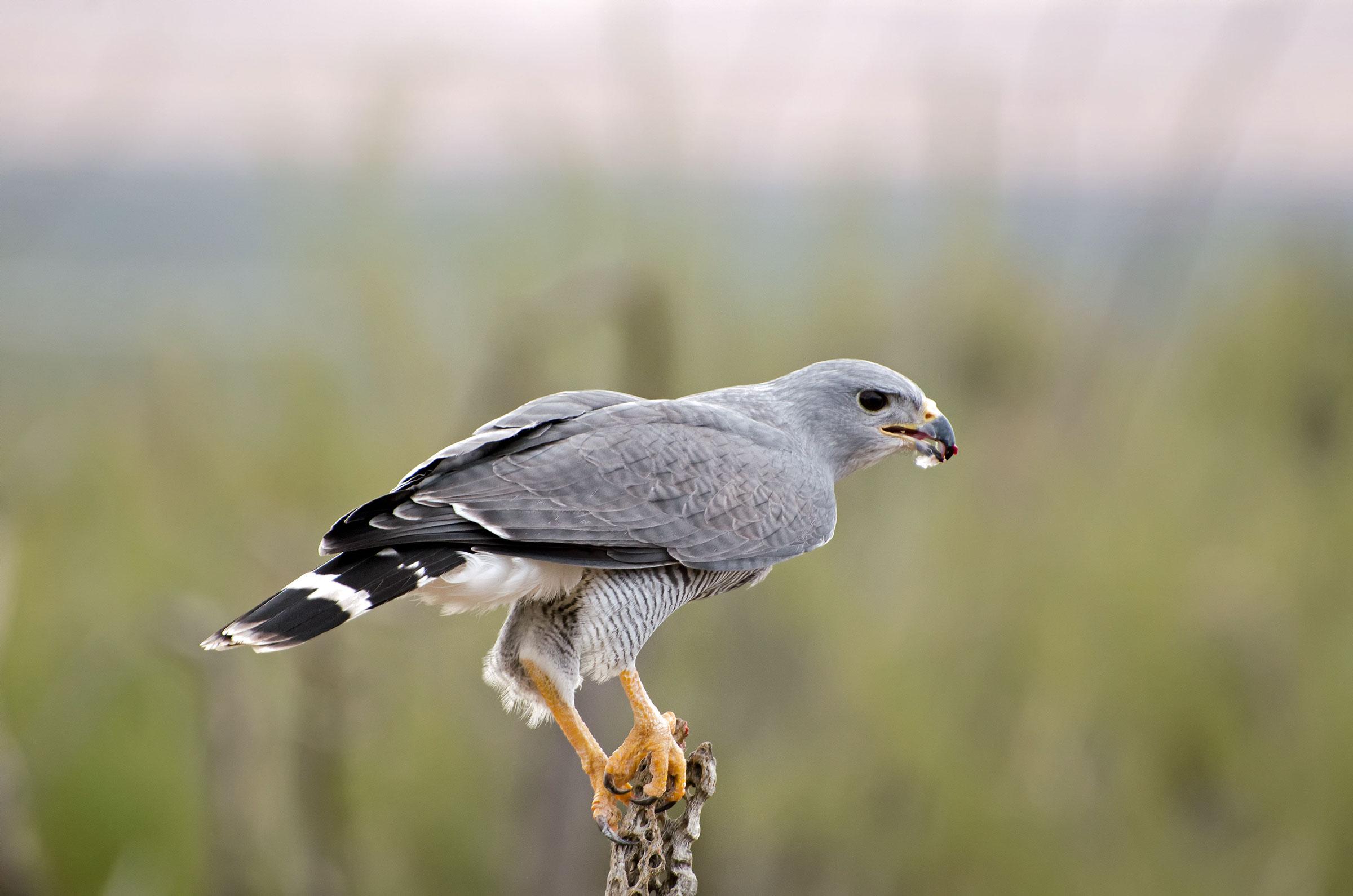 Gray Hawk. Evelyn Harrison/Alamy