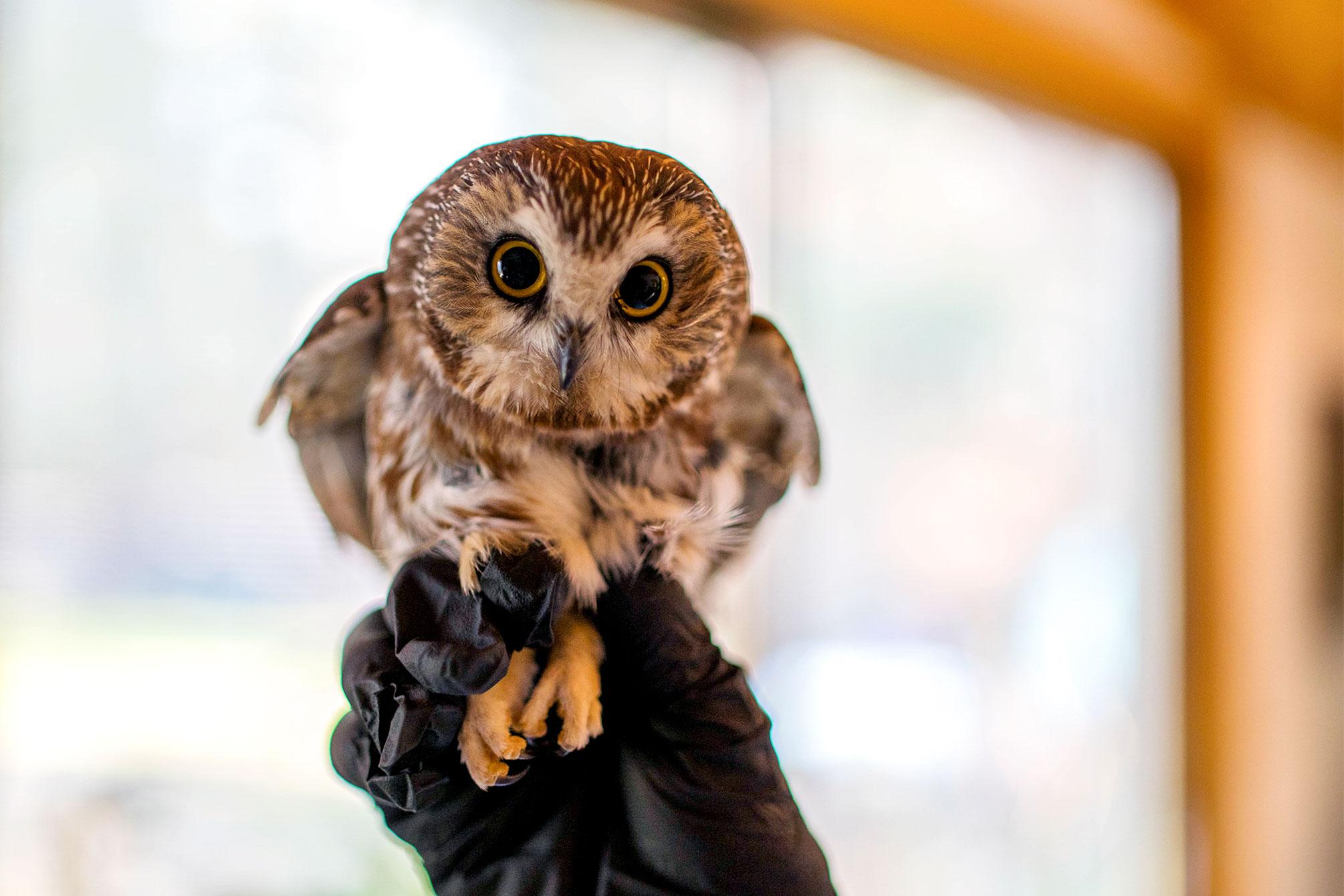 Rocky the Northern Saw-Whet Owl found in the Rockefeller Center Christmas Tree. Ravensbeard Wildlife Center