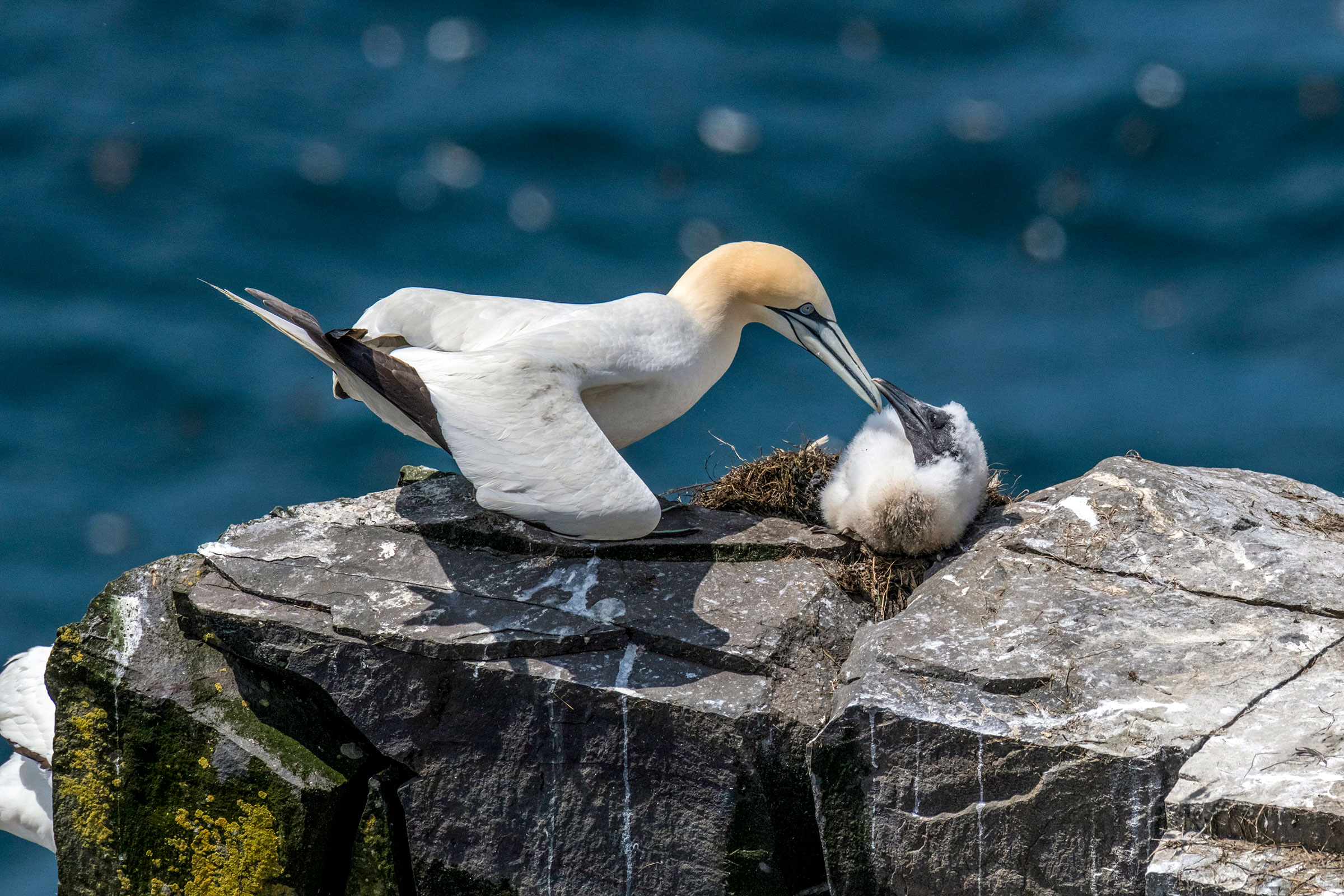 Northern Gannets at Cape St. Mary's Ecological Reserve. Sean O'Neill/Alamy