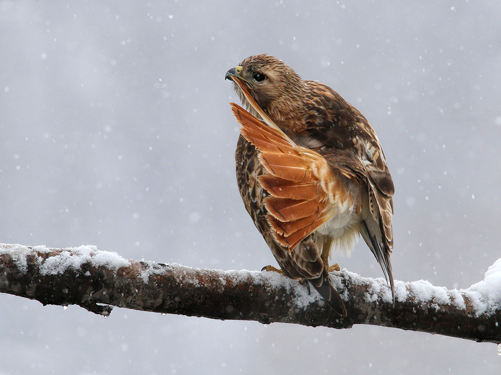 Red-tailed Hawk. Peter Ferguson/Audubon Photography Awards