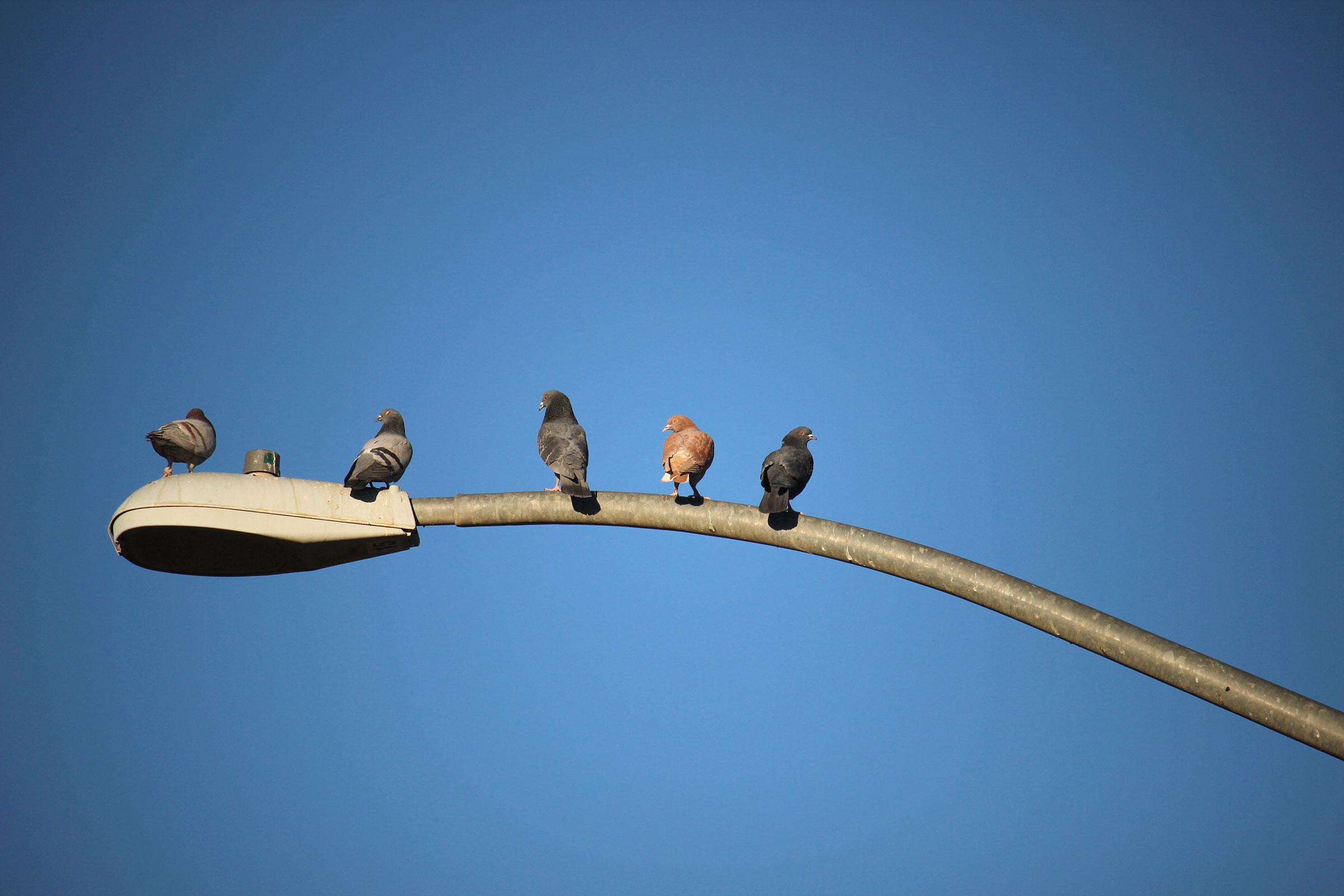 Rock Pigeons. Amy Stuart/Great Backyard Bird Count