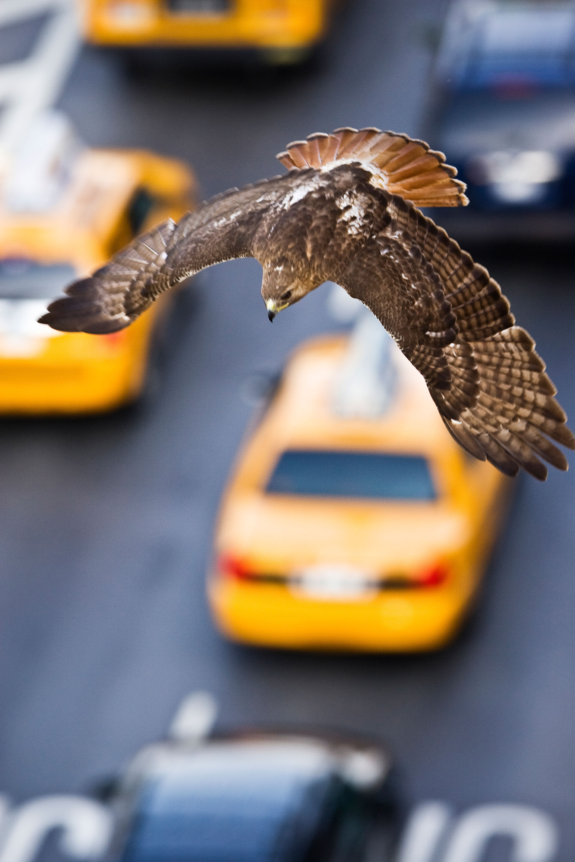 A Red-tailed Hawk swooping over rush-hour traffic is no longer an uncommon sight in New York City. Francois Portmann