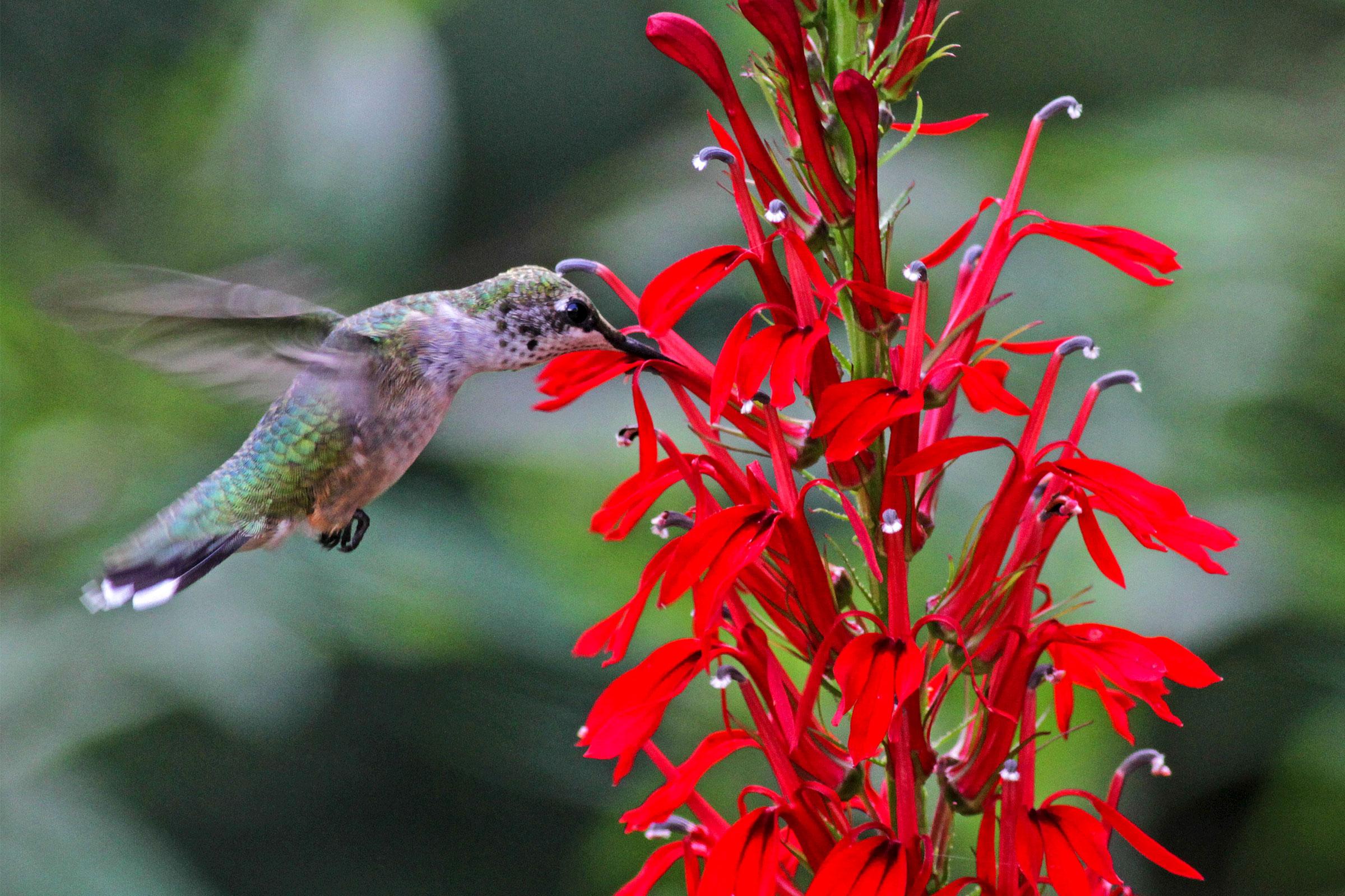 Ruby-throated Hummingbird and cardinal flower. Will Stuart