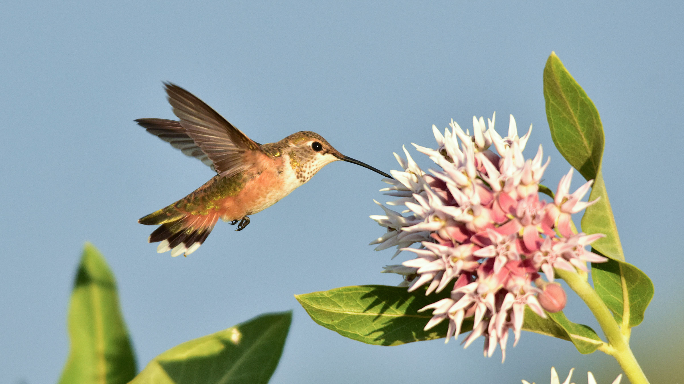 Rufous Hummingbird on showy milkweed plant
