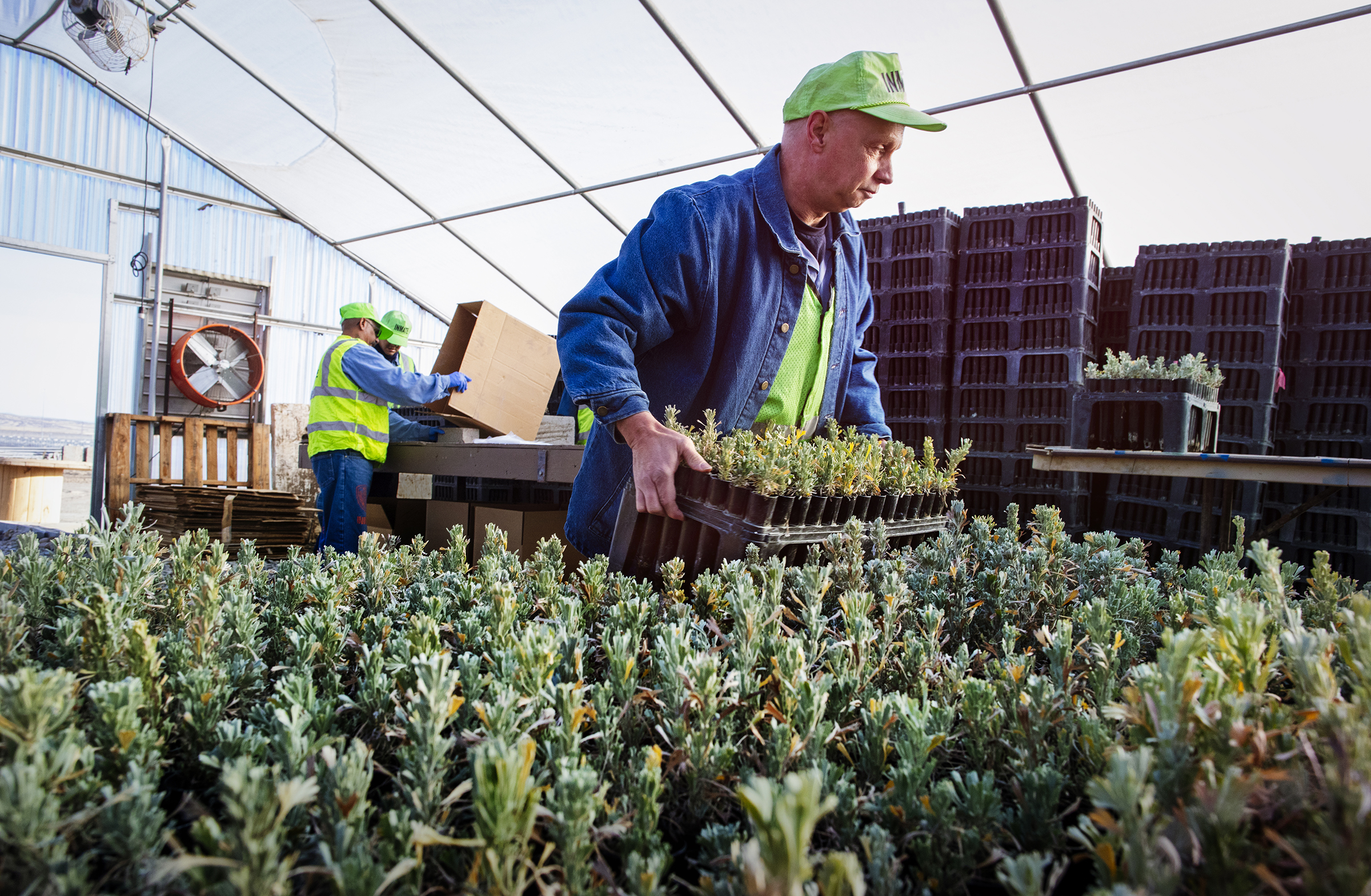 Shawn Virgillo prepares to pack up a tray of sagebrush seedlings in the Snake River Correctional Institution greenhouse. Mike Fernandez/Audubon