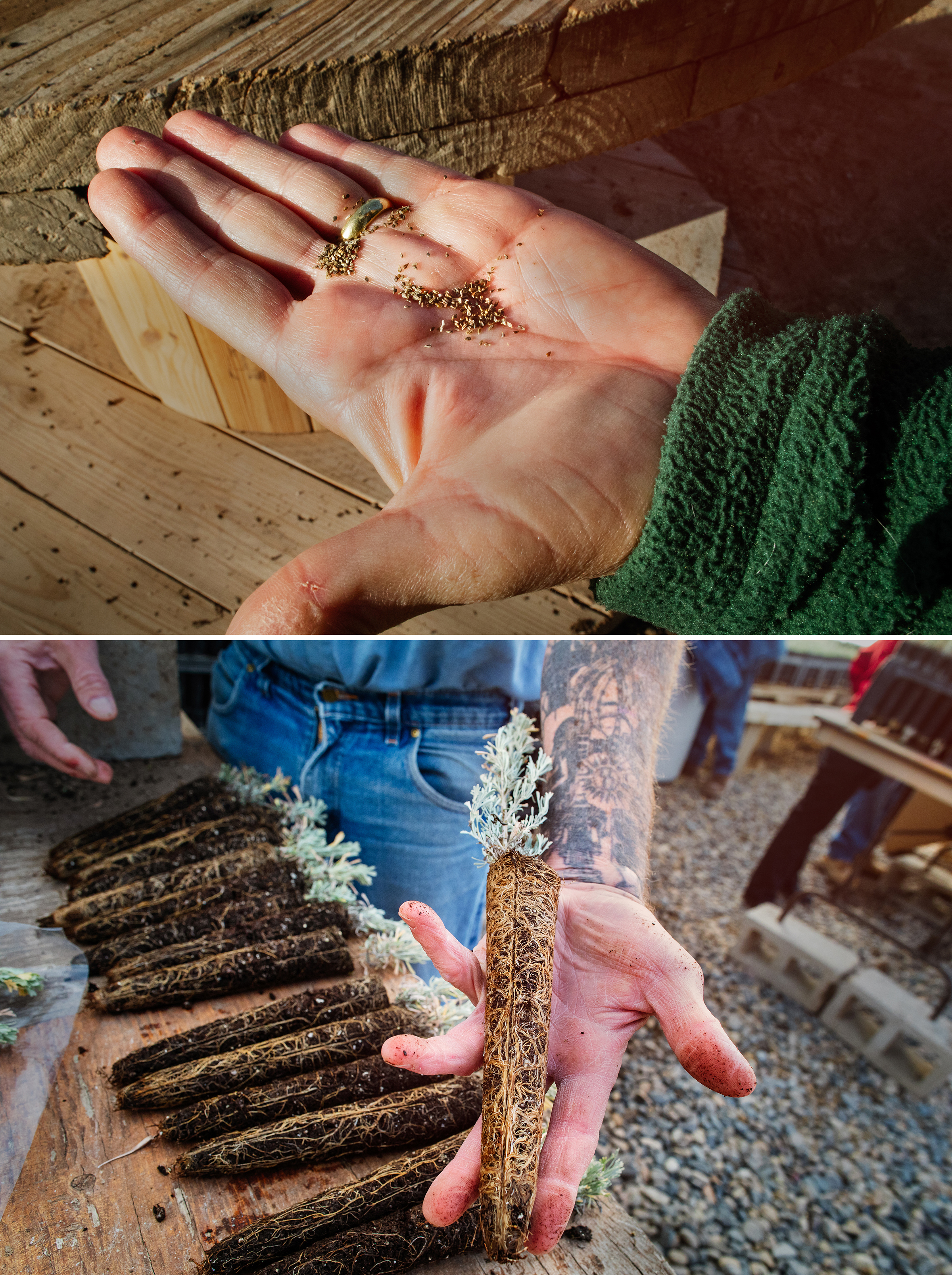 Sown in spring and cared for all summer by inmates, tiny seeds (top) by fall transform into plucky sagebrush seedlings with deep, healthy roots, ready for transplanting to restore habitat. Photos: Mike Fernandez/Audubon