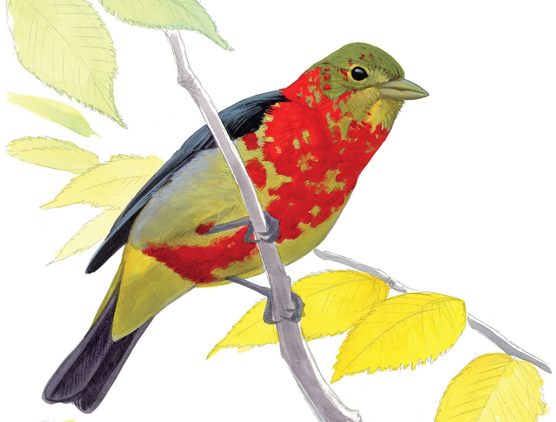 A male Scarlet Tanager in the process of molting. Illustration: David Allen Sibley