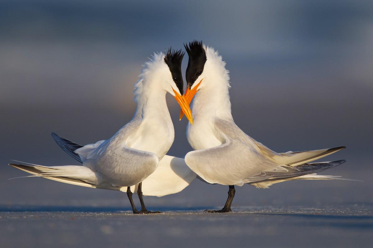 Royal Terns. Steve Ando/Audubon Photography Awards
