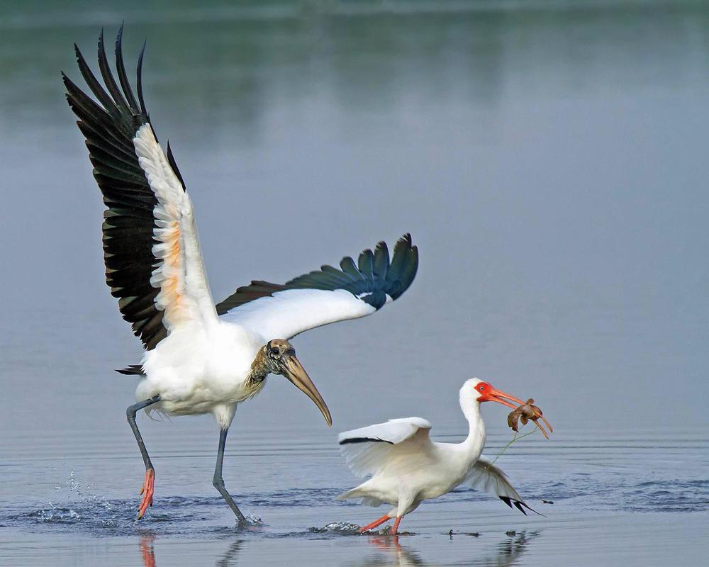 Wood Stork and White Ibis. Alan Tucker/Audubon Photography Awards