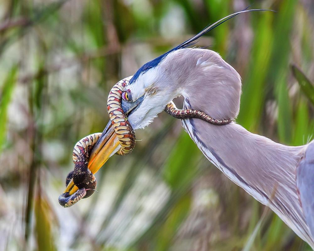 Great Blue Heron. Patrick Tewey/Audubon Photography Awards