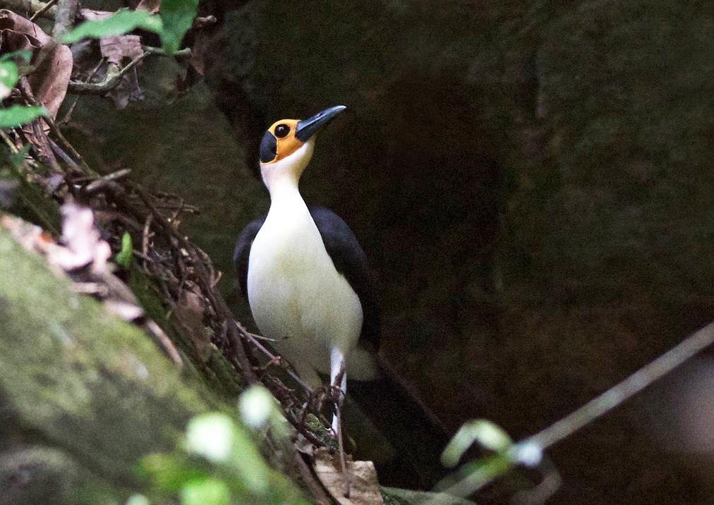 A White-necked Picathartes. Ken Behrens