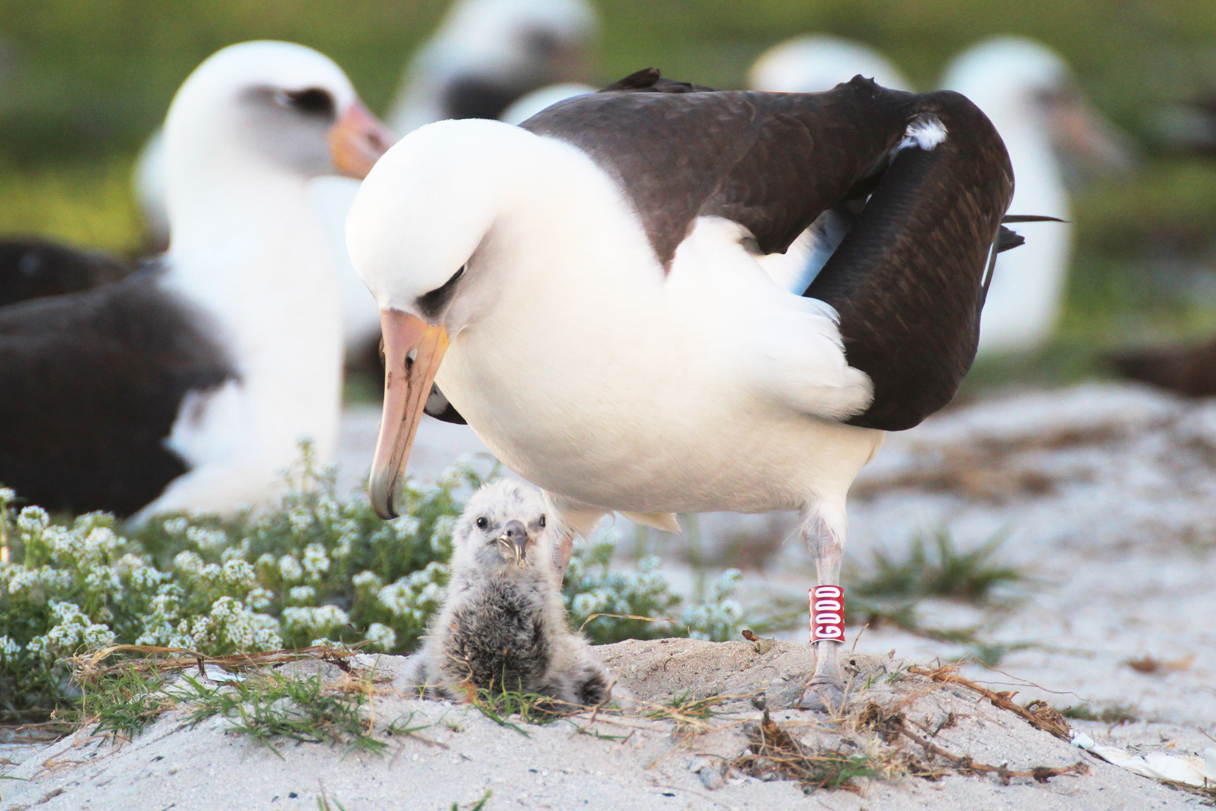 Wisdom's chick hatched on February 1, 2016, and was later named Kūkini, the Hawaiian word for messenger. Here, Wisdom's mate, who was present for the hatching, is seen caring for the chick. Kiah Walker/USFWS